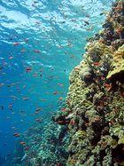 Riffbarsche am Elphinstone Riff