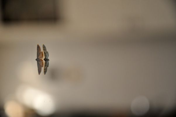 Riflesso Farfalla