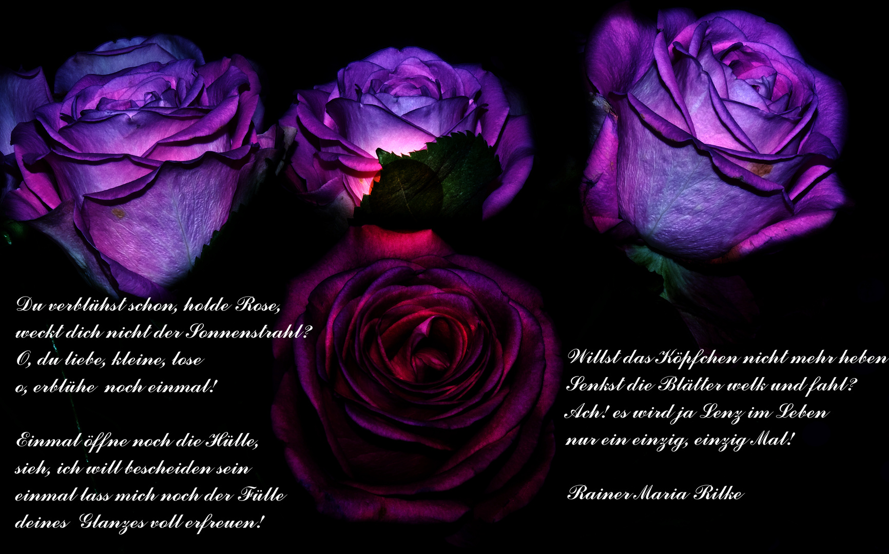 Rilkes Rose
