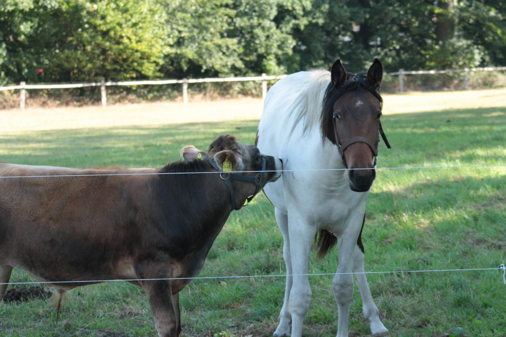 Rind und Pferd