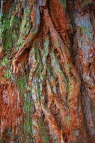 Rinde vom Mammutbaum..