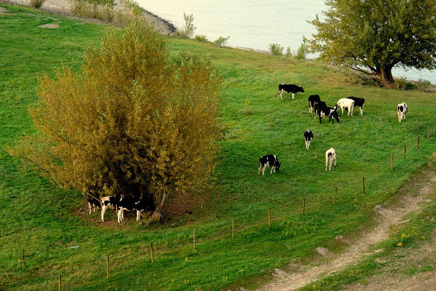 Rinder am Niederrhein...
