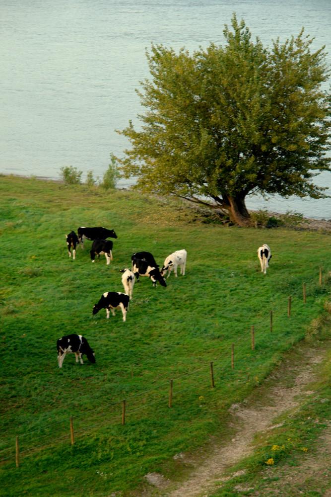 Rinder am Niederrhein...2