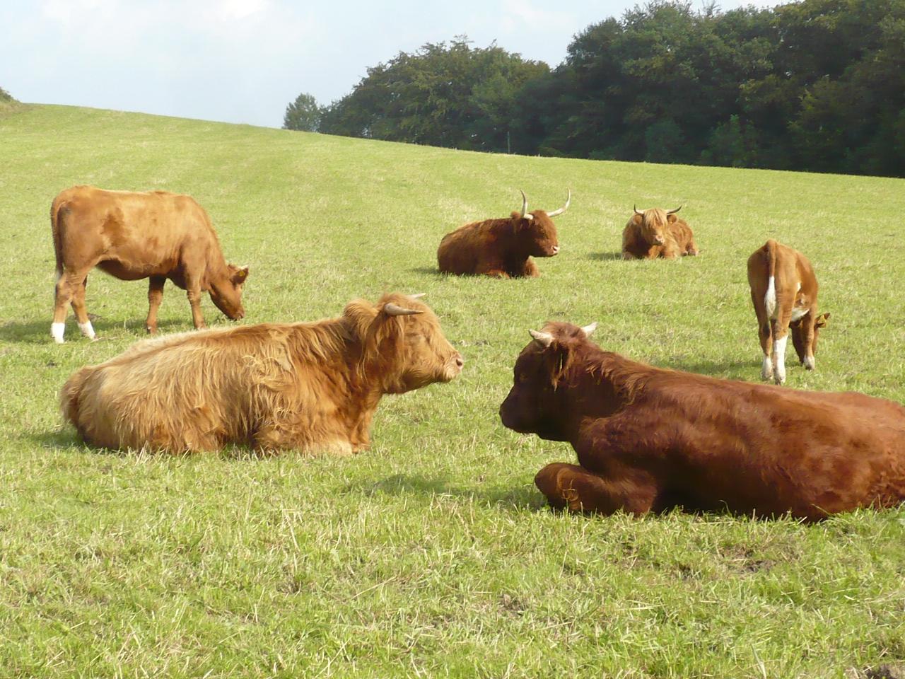 Rinder u. Hochlandrinder im Sauerland