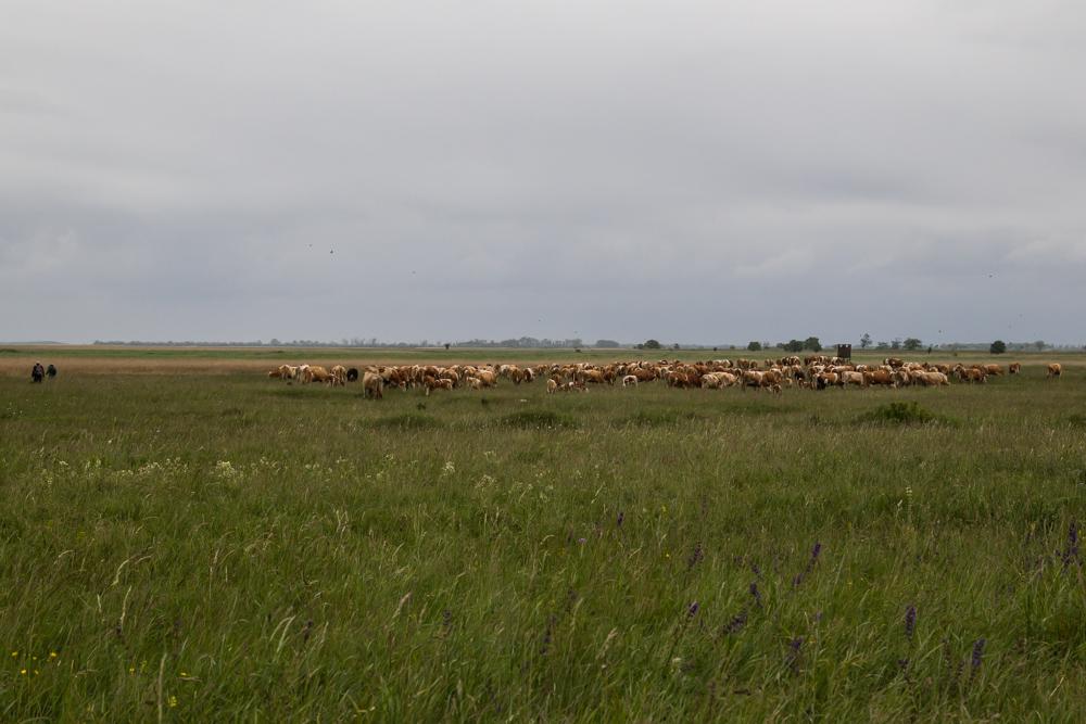 Rinderhirten mit Herde