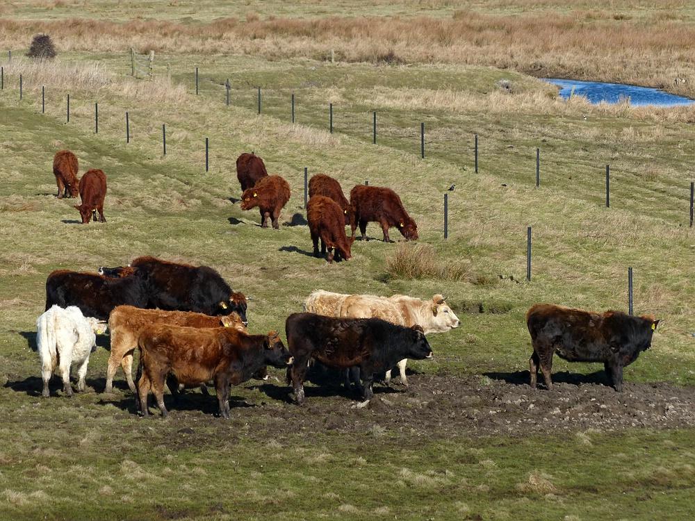 Rindviecher auf Borkum