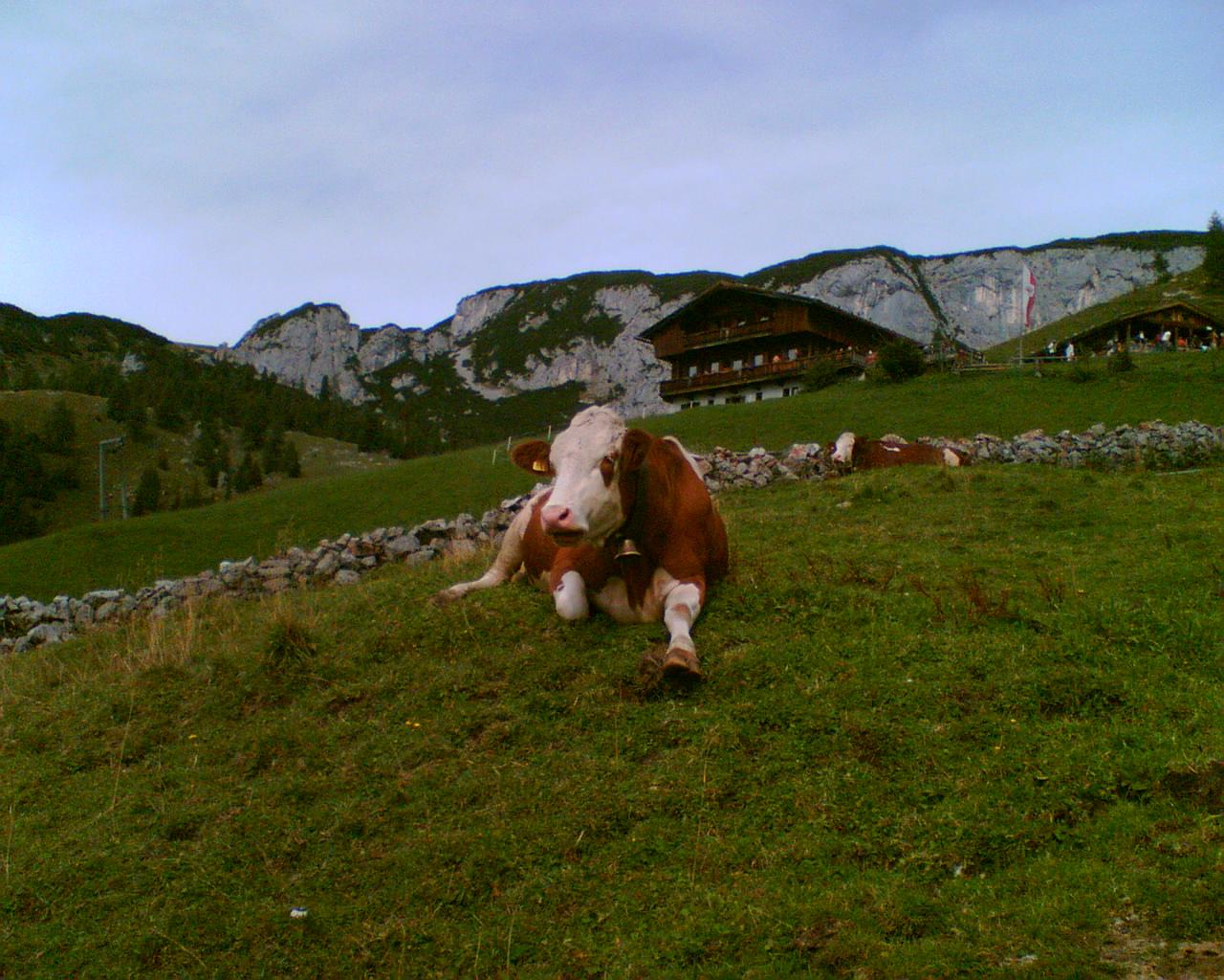 Rindvieh auf 2000m Höhe