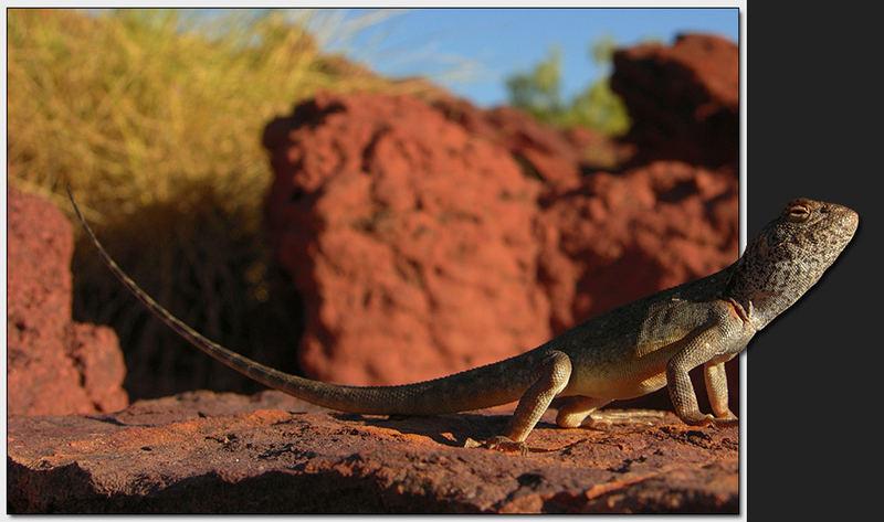 Ring Tailed Dragon (Ctenophorus caudicinctus)
