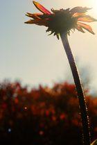 Ringelblume im Sonnenlicht