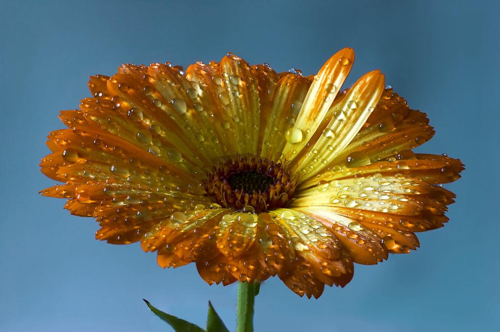 Ringelblume nach dem Regenschauer