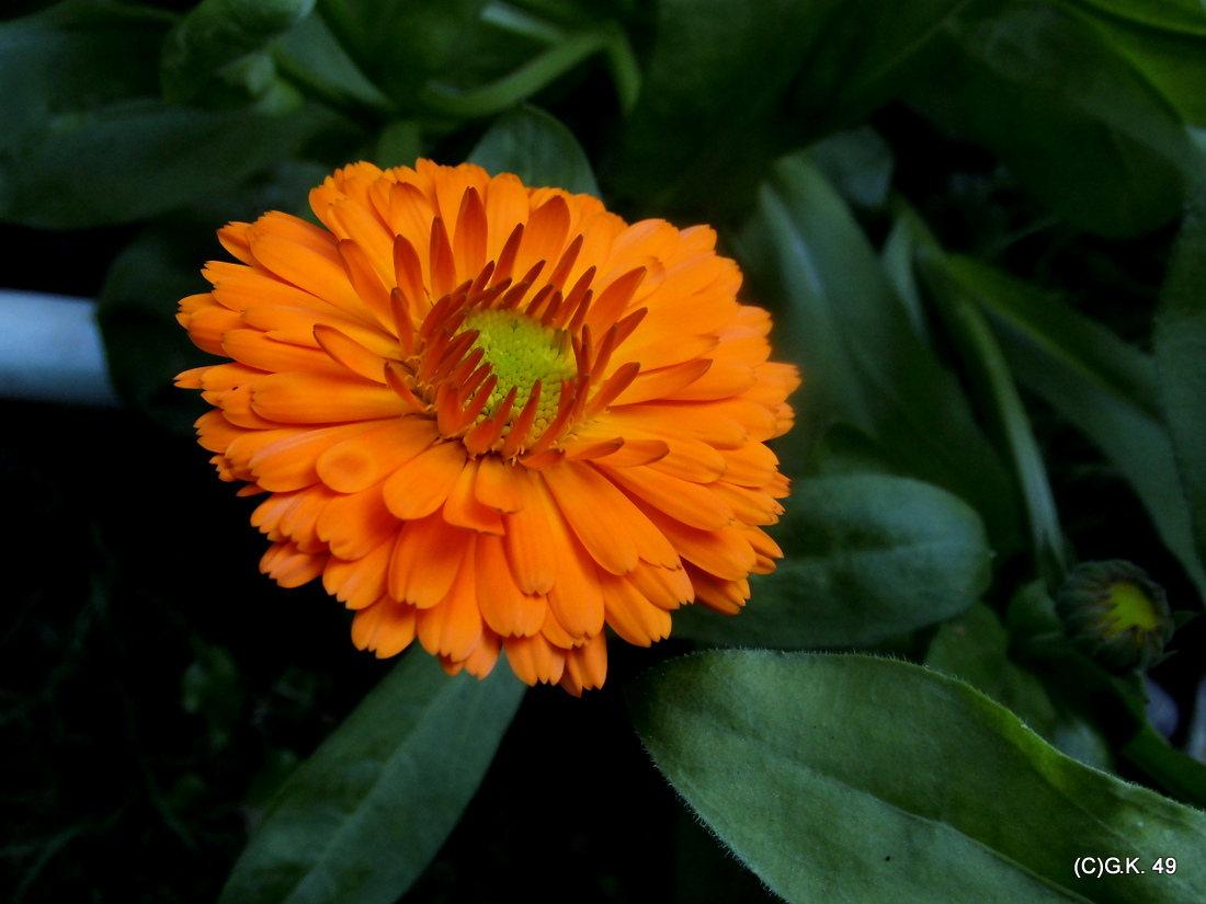 Ringelblumen blühen auch noch im Oktober !