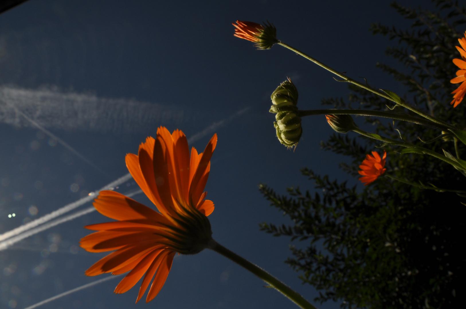 Ringelblumen in der Mittagssonne