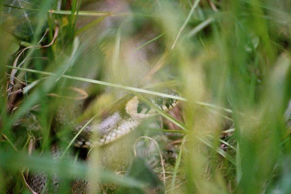 Ringelnatter im Gras