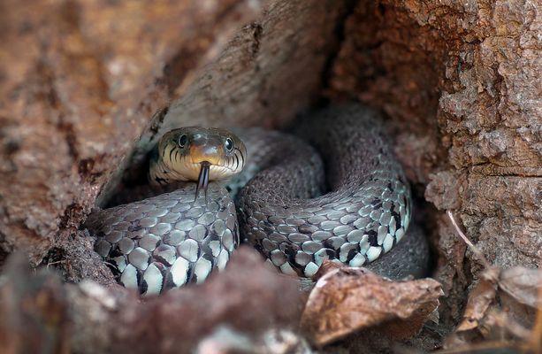 Ringelnatter in Baumhöhle
