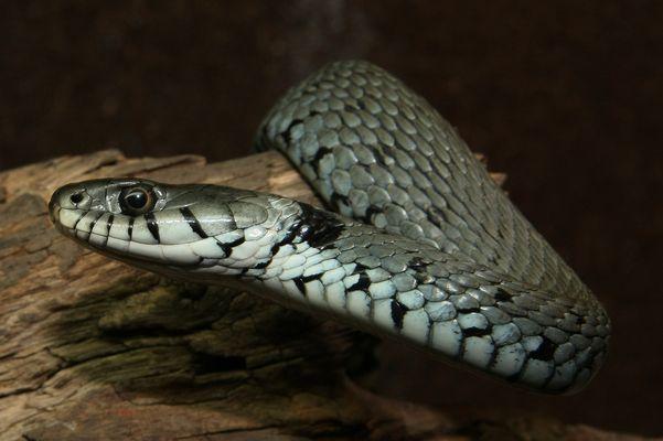 Ringelnatter - Natrix natrix