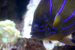 Ringkaiserfisch