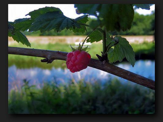Ripe raspberry