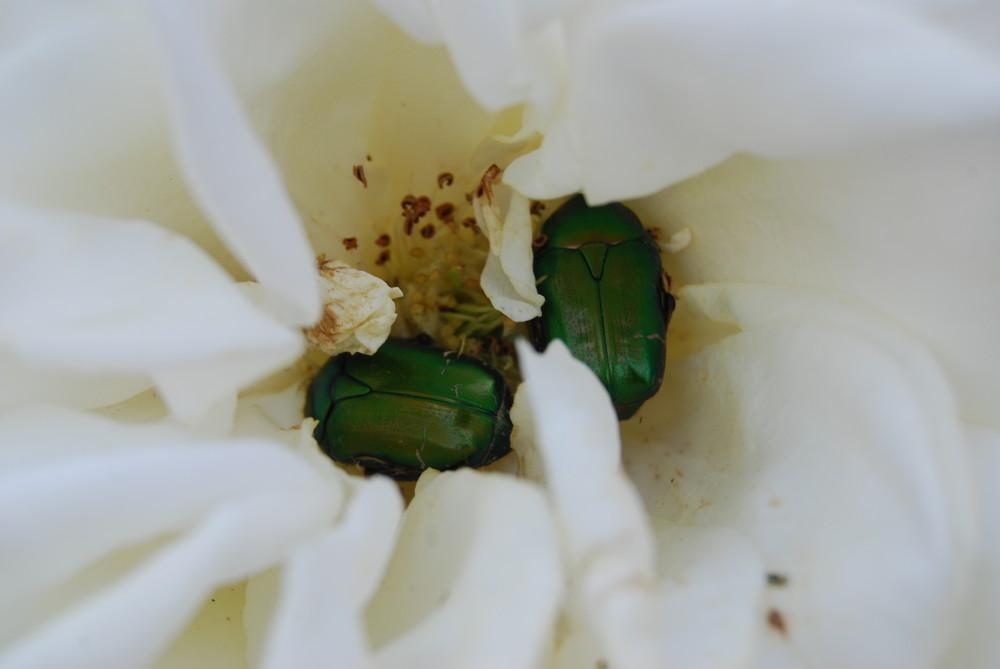 riposo tra i petali