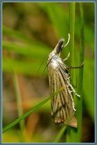 Rispengraszünsler [Chrysoteuchia culmella]