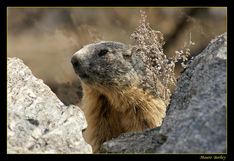 Ritratto di Marmotta.