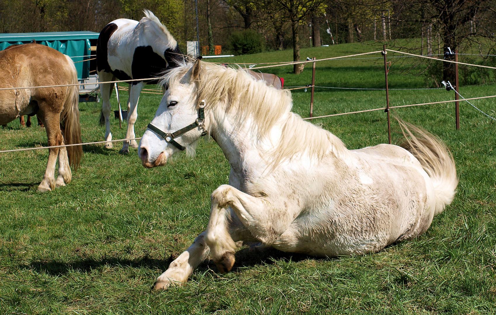 Ritterpferd beim entspannen....