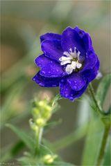 Rittersporn, einzelne Blüte im Regen