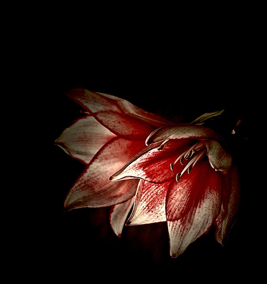 Rittersternblüten...