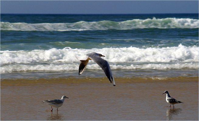 Rivage landais - 4 -- Mouettes en bord de mer