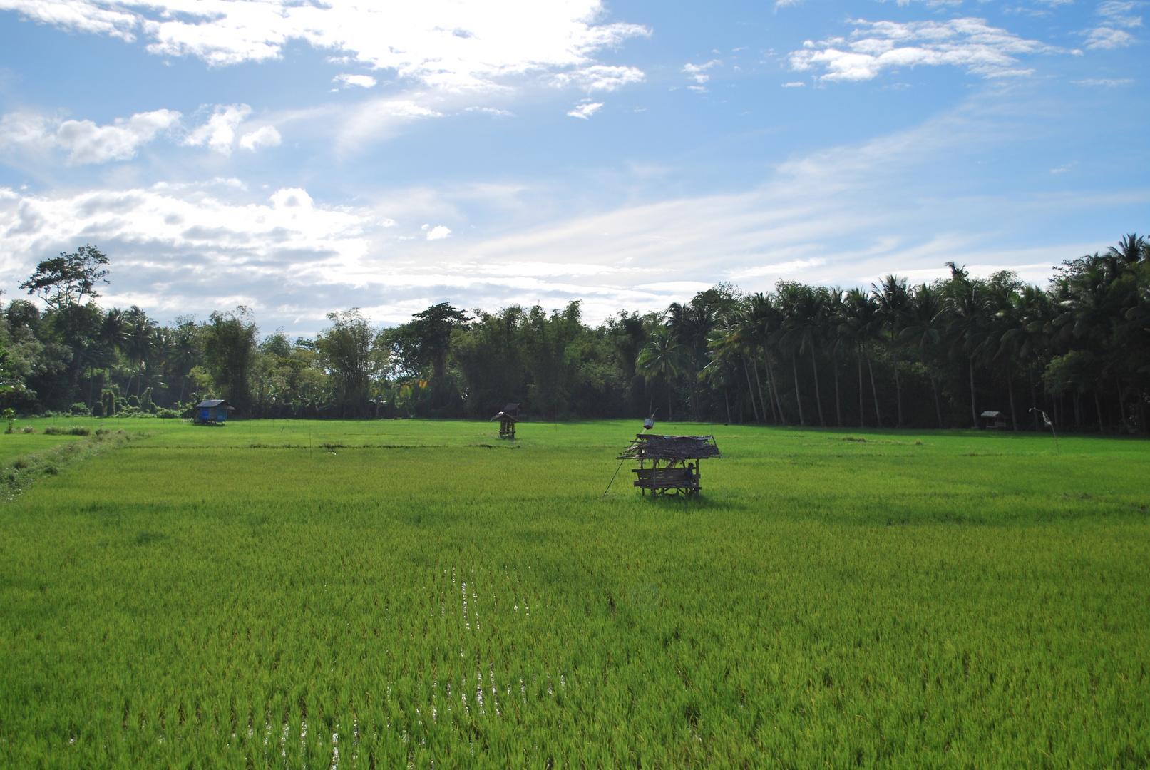 rizière Philippine