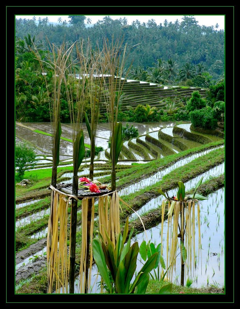 rizières balinaises