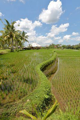 Rizières d'Ubud - Bali