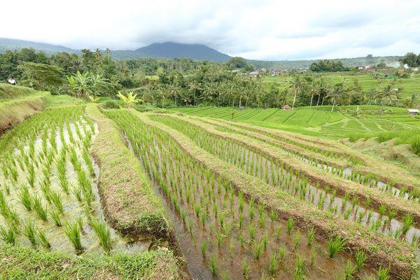 Rizières région d'Ubud - Bali