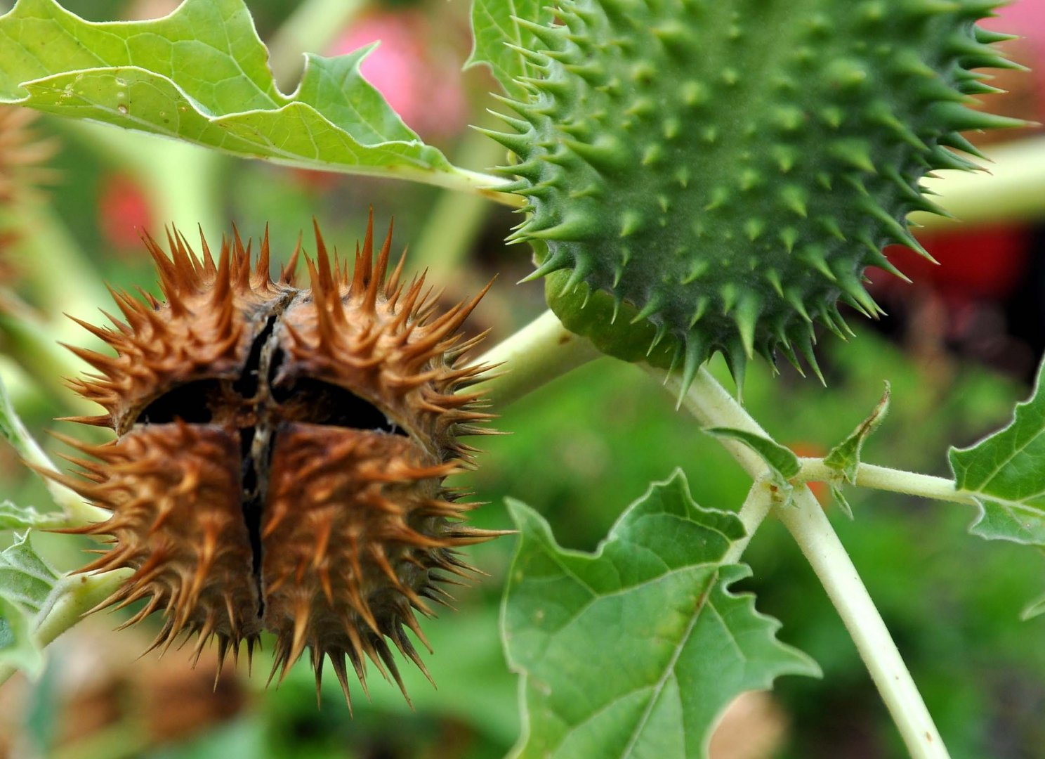 rizinus frucht foto bild pflanzen pilze flechten. Black Bedroom Furniture Sets. Home Design Ideas