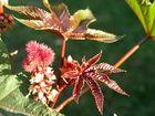Rizinus Wunderbaum