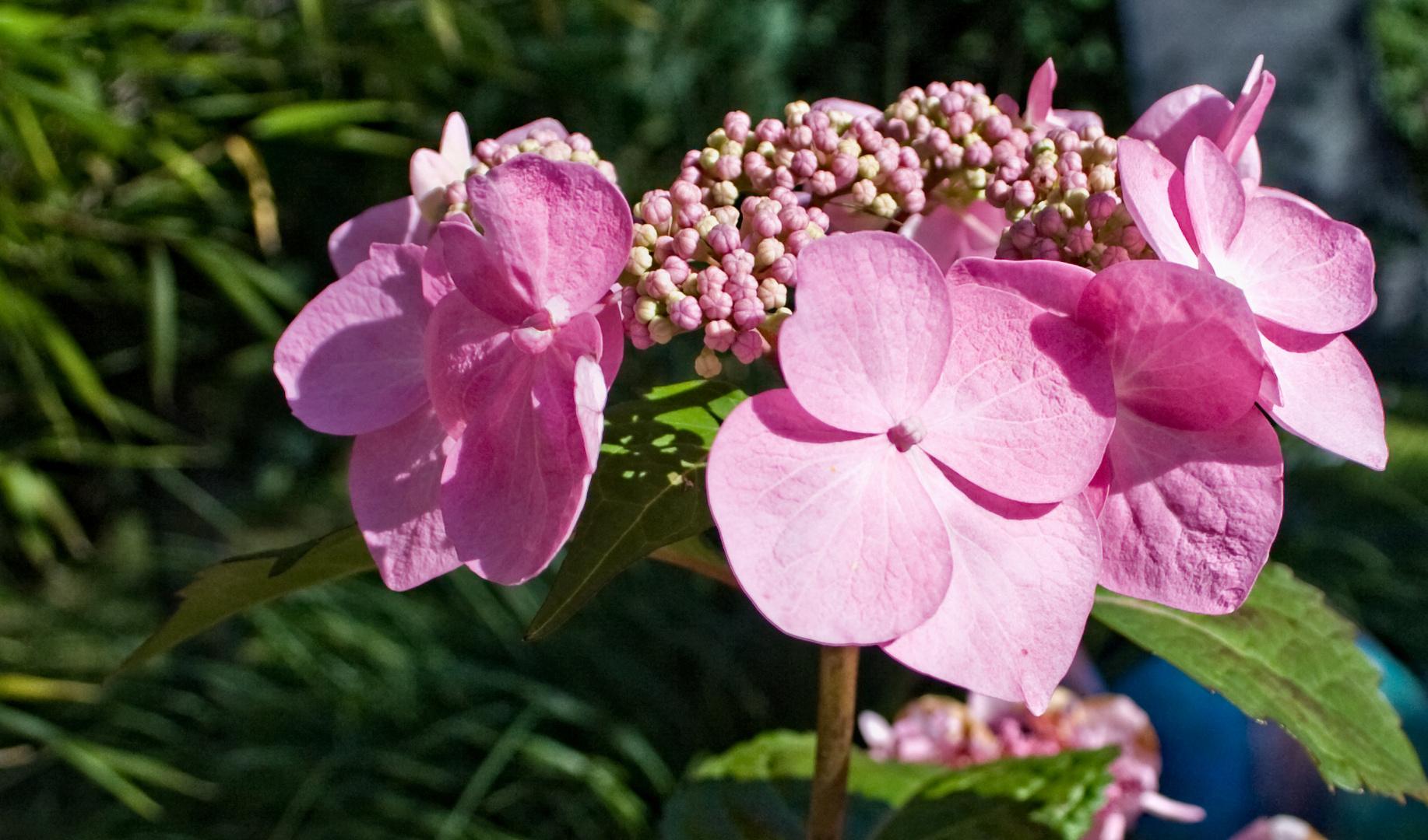 roas Blütentraum!