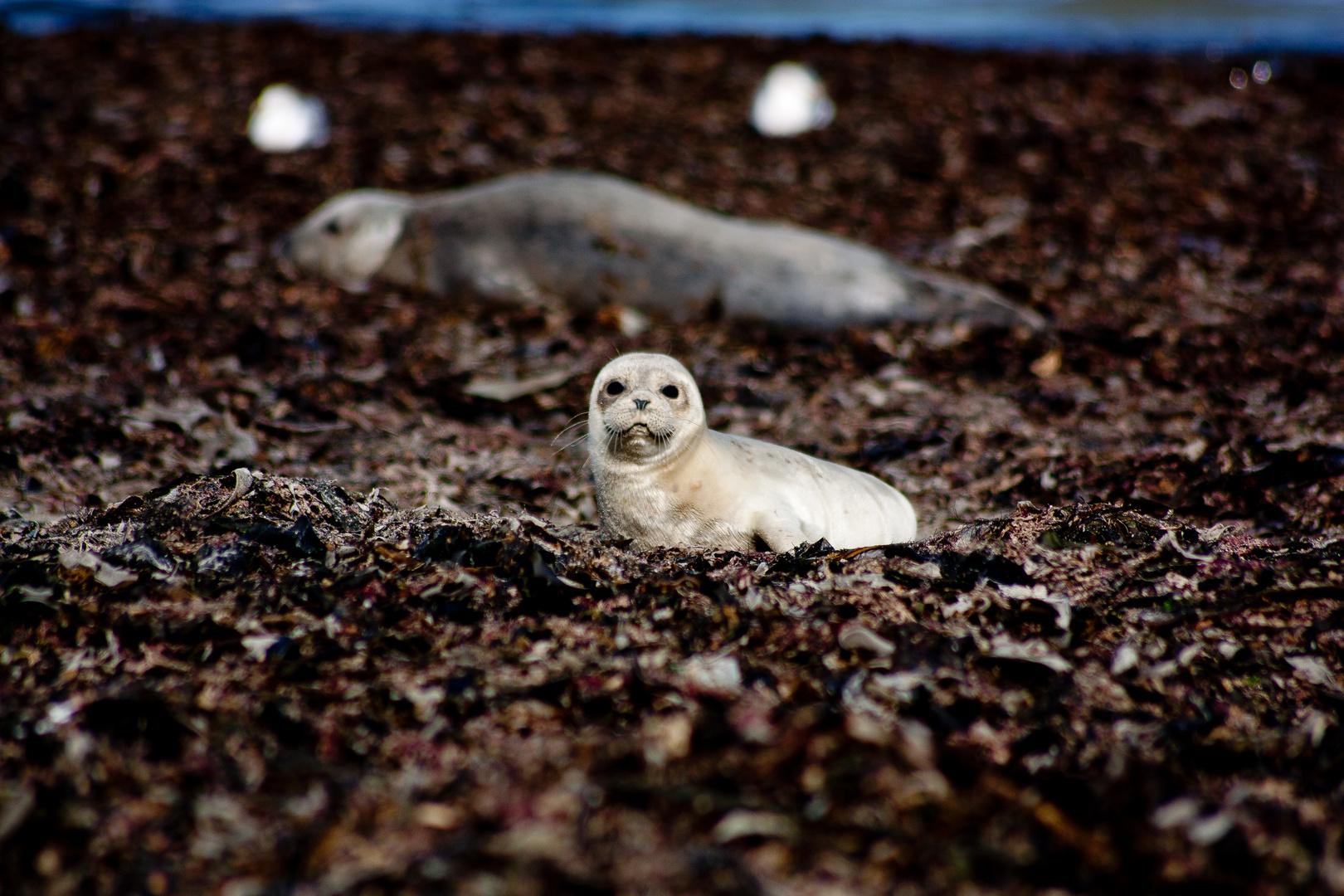 Robbe auf der Helgoländer Düne