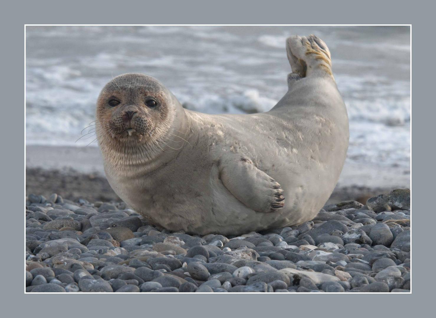 Robbe auf Helgoland steht Modell