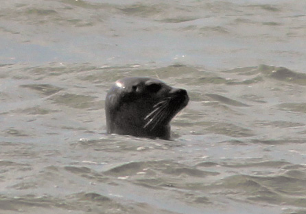 Robbe aus dem Wasser