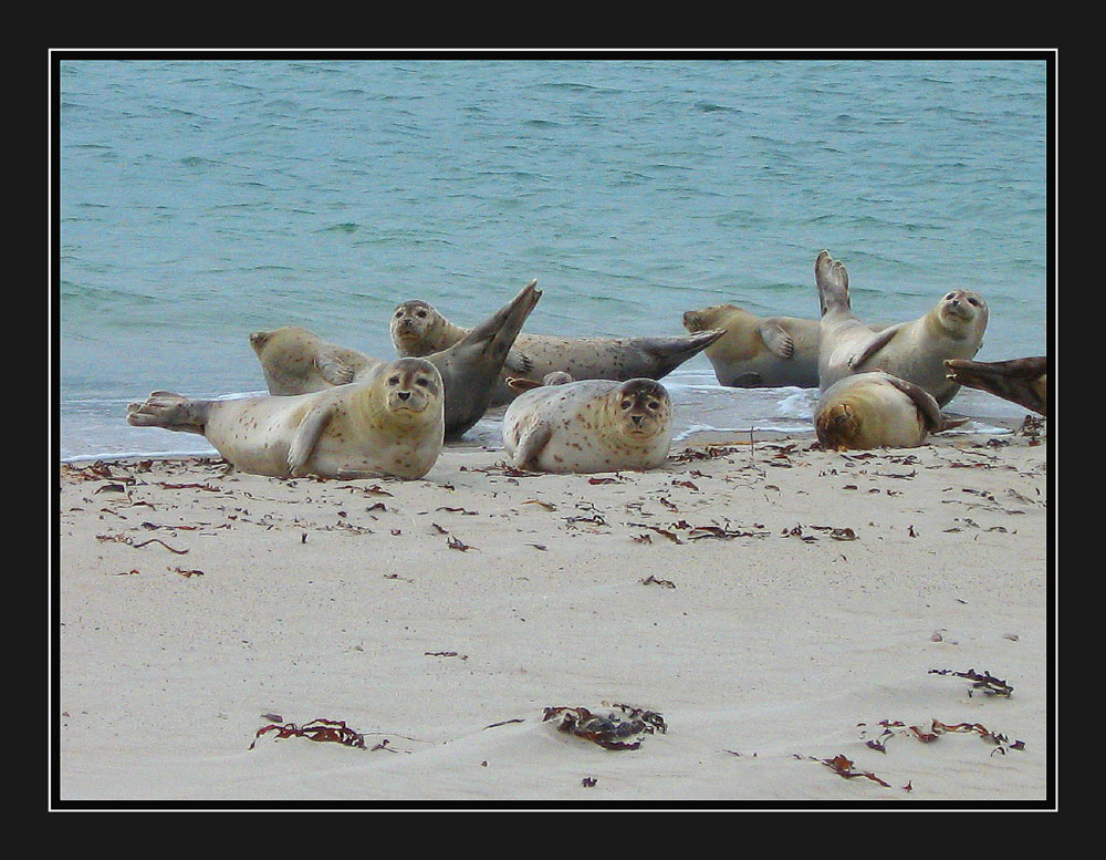 Robben am Dünenstrand von Helgoland
