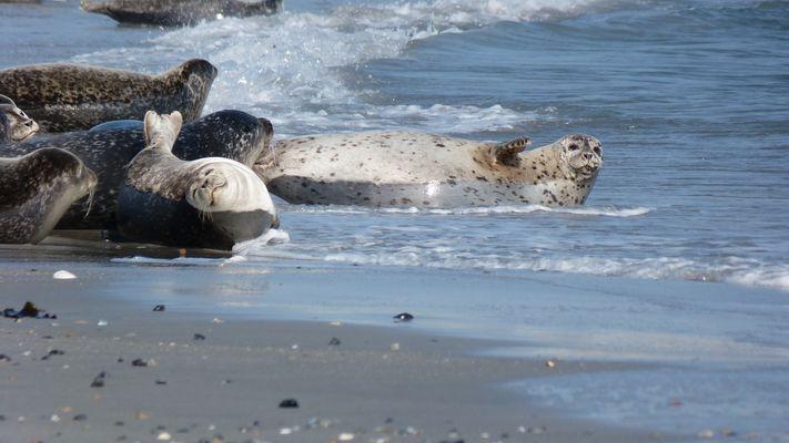 Robben auf Helgoland II