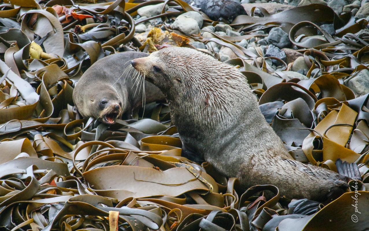 Robben in Neuseeland