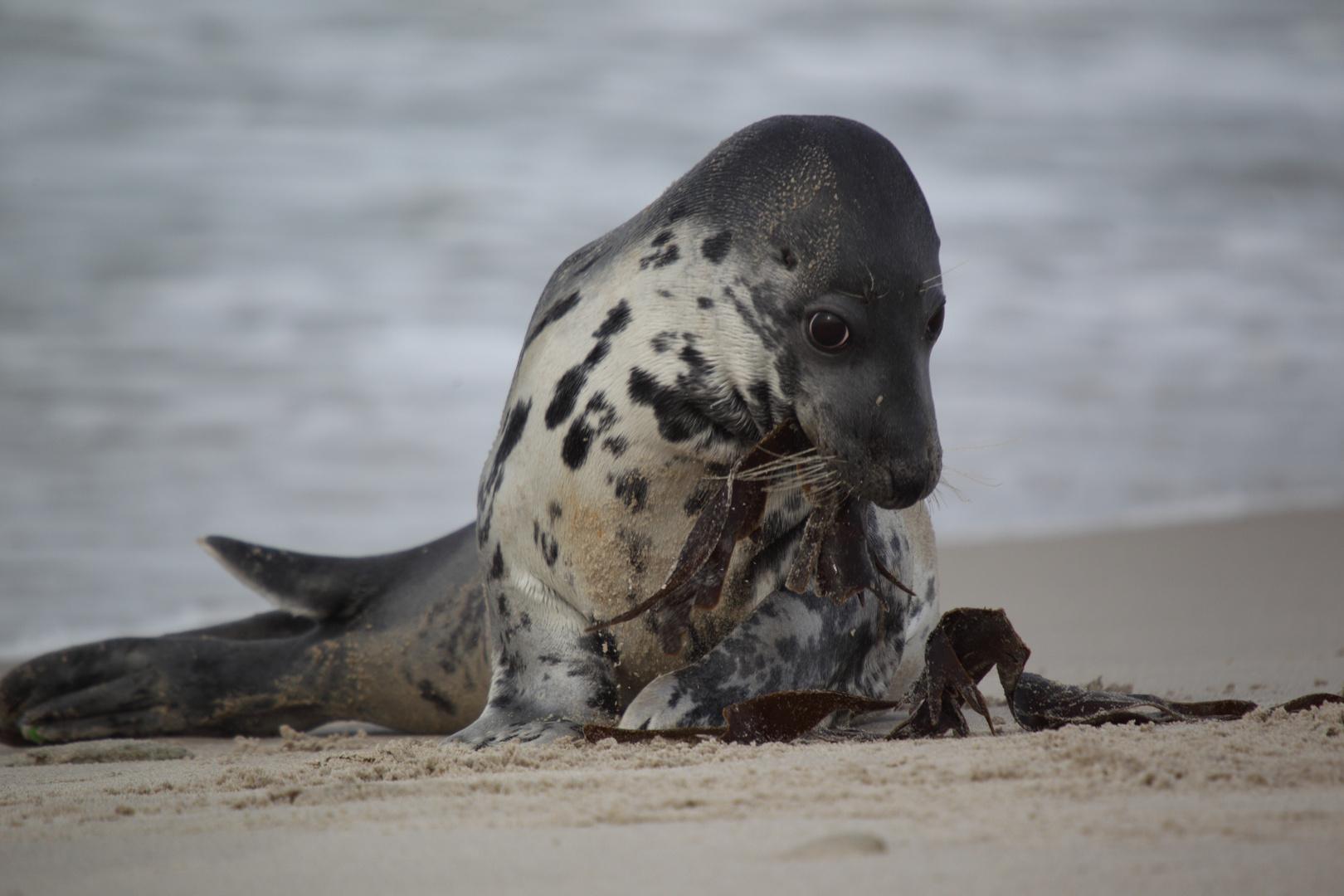 Robben liegen nur träge am Strand :-D