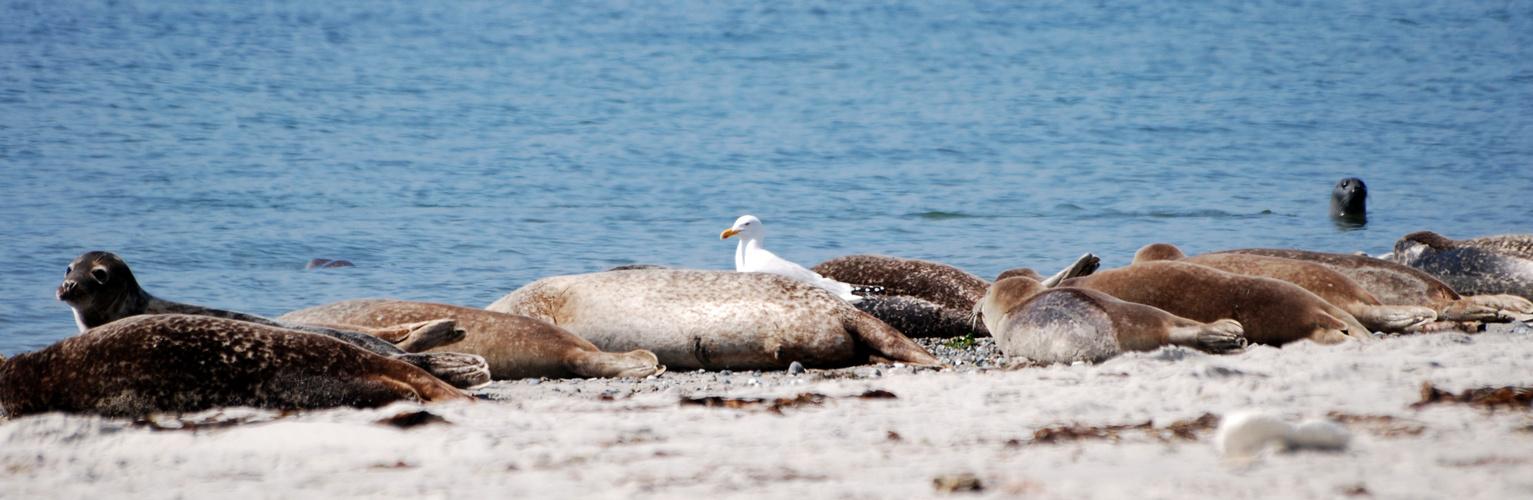Robben mit Möwe