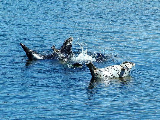 Robben-Synchron-Wasserballet