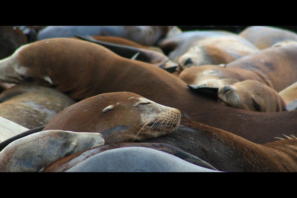 Robbenschlaf