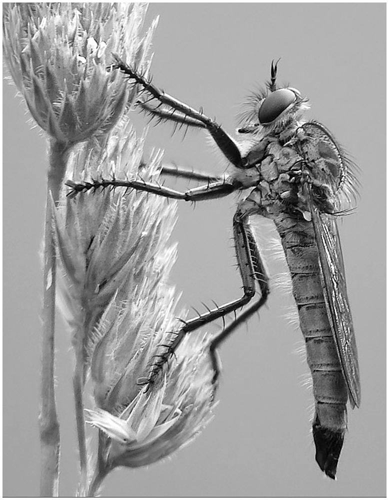 Robber Fly (F11) by Vera Böhm