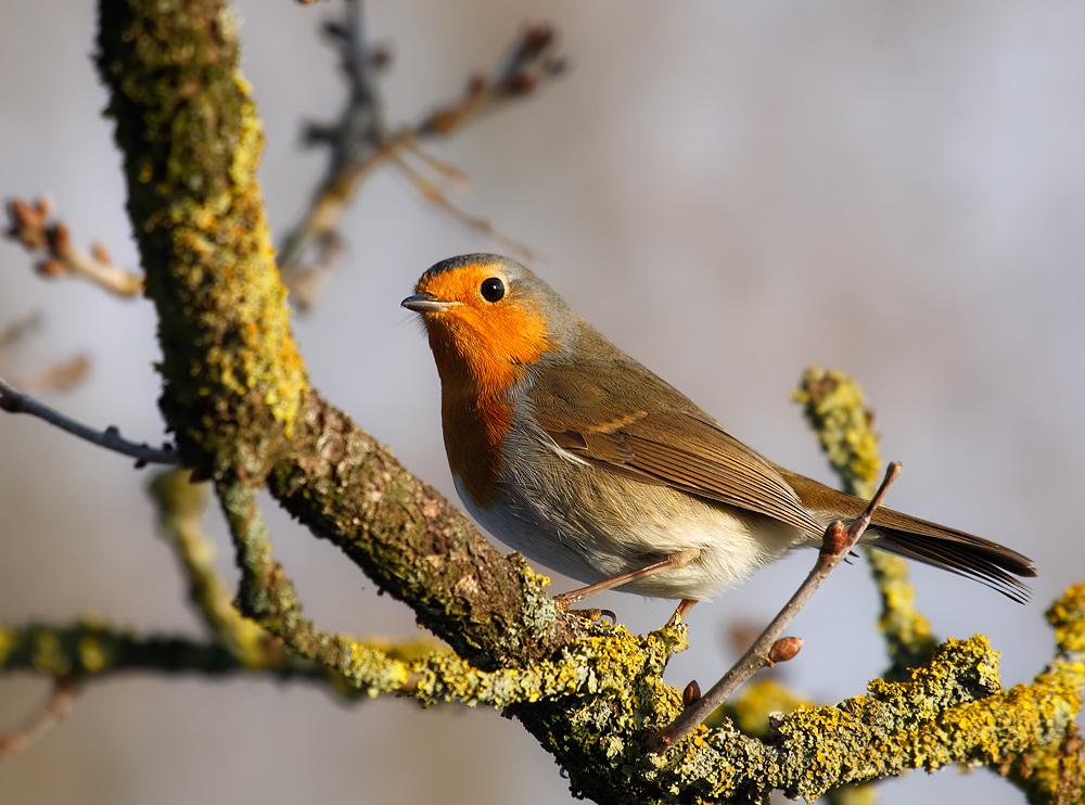 Robby the Robin