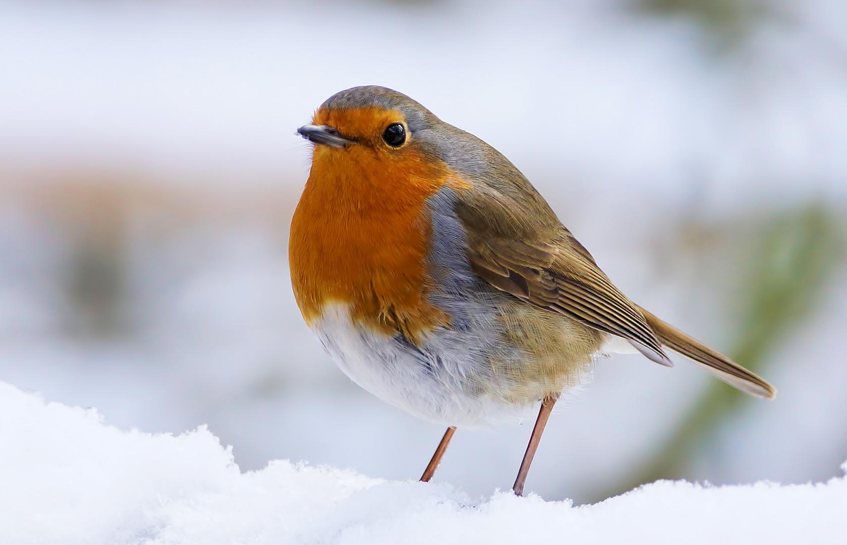 .....Robin.....