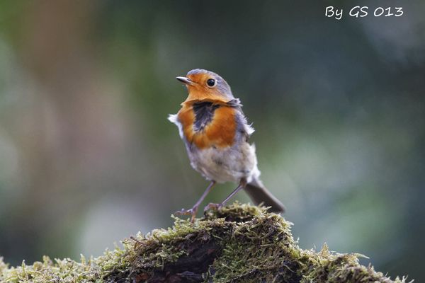 Robin on the wind....