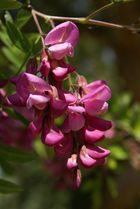 Robinia speudoacacia 'Casque Rouge'
